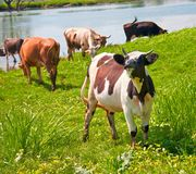 Vaca bonito Imagens de Stock