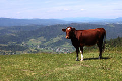 Vaca bonito Foto de Stock