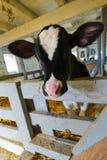 Vaca bonito no celeiro imagens de stock royalty free