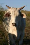 Vaca branca Imagem de Stock Royalty Free