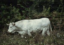 Vaca branca imagens de stock