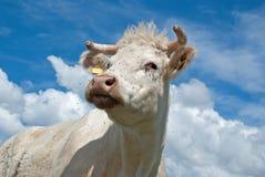 Vaca branca Imagens de Stock Royalty Free