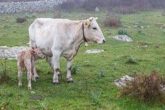 Vaca branca com a vitela que pasta imagem de stock