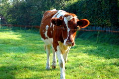 Vaca branca de Brown nos Países Baixos Fotografia de Stock