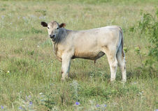 Vaca branca do charolês que pasta em Oklahoma foto de stock royalty free