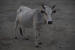 Vaca branca do touro imagem de stock royalty free