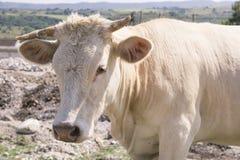 Vaca branca em um campo Fotografia de Stock Royalty Free