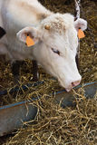 Vaca branca que alimenta com feno Foto de Stock Royalty Free