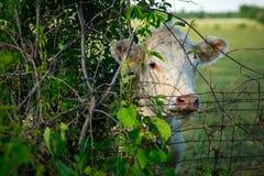 Vaca branca que espreita da árvore de trás Foto de Stock Royalty Free