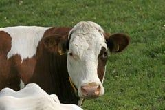 Vaca brindled de Brown de Alemanha imagens de stock royalty free