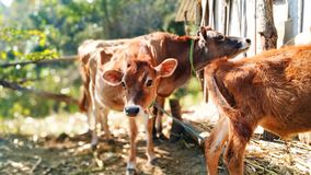 Vaca calma fotografia de stock