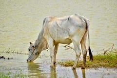 Vaca camboyana en un campo fotografía de archivo
