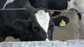 Vaca cerca de la cerca almacen de metraje de vídeo