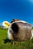 Vaca, cierre divertido de la nariz del fisheye para arriba Foto de archivo libre de regalías