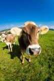 Vaca, cierre divertido de la nariz del fisheye para arriba Imagenes de archivo