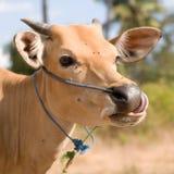 Vaca clara de Bali Foto de Stock