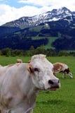 Vaca com franja no campo que olha a câmera Cumes austríacos da paisagem bonita da montanha no fundo Fotografia de Stock Royalty Free
