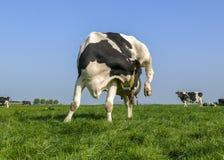 Vaca com itching, flexível lambendo sua teta sob o pé traseiro levantado em um prado verde sob um céu azul imagens de stock