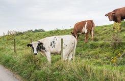 Vaca com sua cabeça entre o arame farpado Imagem de Stock Royalty Free