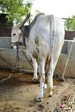 Vaca com uma corda - 3 Fotos de Stock