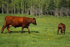 Vaca com vitela Fotografia de Stock Royalty Free