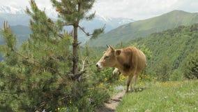 A vaca come a agulha do abeto vermelho nas montanhas, Cáucaso, Geórgia video estoque