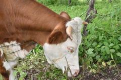 A vaca come a grama Fotos de Stock Royalty Free