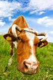 A vaca come a grama imagem de stock royalty free