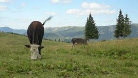 A vaca come a grama nas montanhas video estoque
