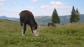 A vaca come a grama nas montanhas filme