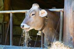 A vaca come o feno Imagens de Stock
