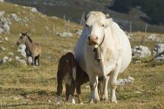 Vaca con el becerro Fotos de archivo