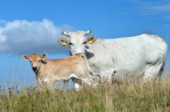 Vaca con el becerro Foto de archivo libre de regalías