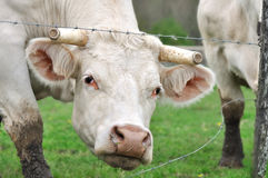 Vaca con el corte de los claxones fotos de archivo