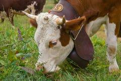 Vaca con la campana grande que come la hierba Foto de archivo libre de regalías