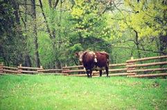 Vaca con la cerca Fotos de archivo