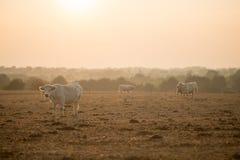 Vaca con la luz de oro Foto de archivo libre de regalías