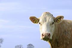 Vaca con las etiquetas de oído del corazón Fotos de archivo