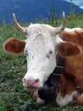 vaca con las moscas Imagen de archivo libre de regalías