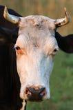 Vaca con los claxones fotos de archivo libres de regalías