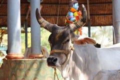 Vaca con los cuernos perfectos fotos de archivo