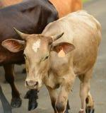 Vaca con los cuernos que caminan abajo del camino en America Central Imágenes de archivo libres de regalías