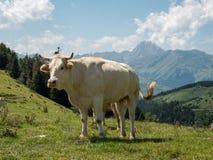 Vaca con Pic du Midi Francia fotografía de archivo