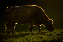 Vaca con Rimlight Fotografía de archivo libre de regalías