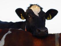 vaca confortável fotografia de stock royalty free