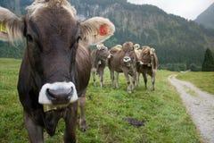 Vaca curiosa Imagen de archivo libre de regalías