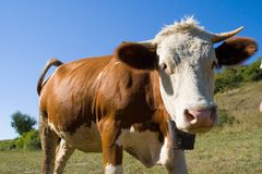 Vaca curiosa. Foto de archivo libre de regalías