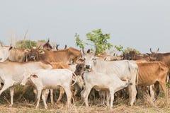 Vaca curiosa Imágenes de archivo libres de regalías