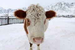 Vaca curiosa Fotos de archivo