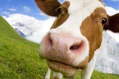 Vaca curiosa Imagem de Stock Royalty Free